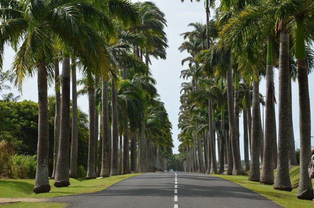 Palmiers en Guadeloupe